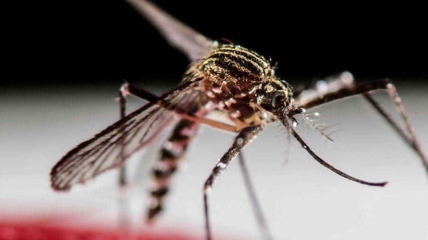 Szörnyű új betegségeket hozhatnak az invazív szúnyogok