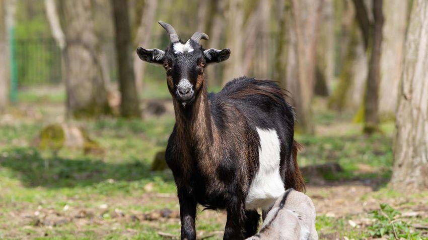 Ismét gyarapodott a debreceni állatkert kecskecsapata