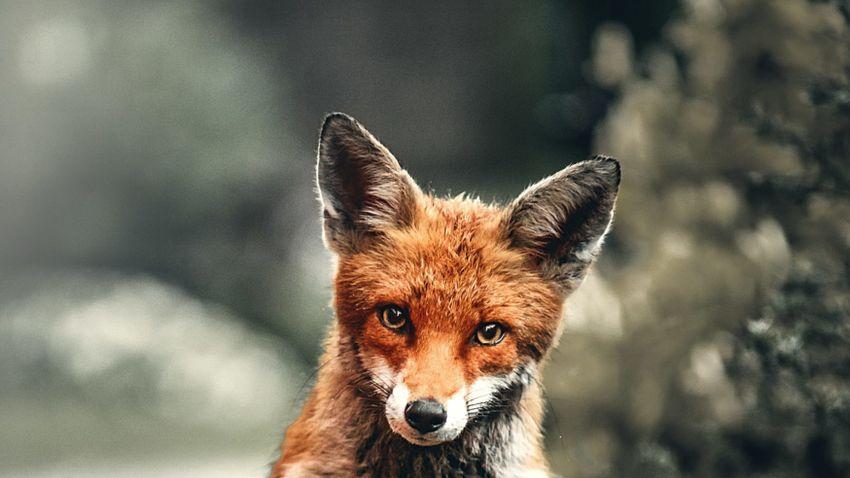 Beugrott iszogatni a fiatal róka, nagy vita kerekedett + videó