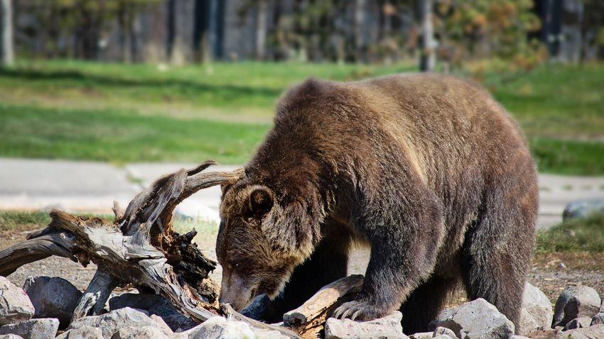Grizzly medve ölt meg egy montanai túravezetőt