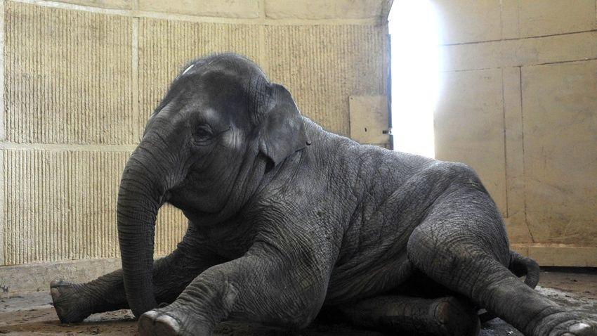 Újra vemhes a Fővárosi Állat- és Növénykert nőstény elefántja