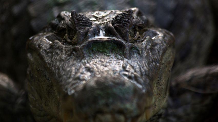 Brutális krokodiltámadásban vesztette életét egy férfi