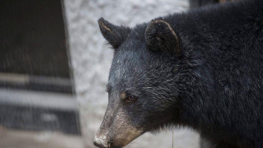 Belehalt a medvetámadásba egy kanadai nő