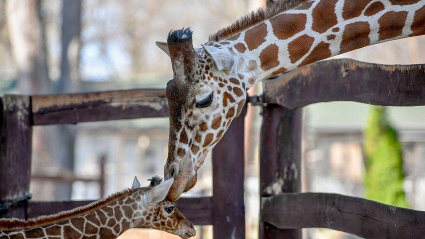 Új jövevényeket tekinthetnek meg az állatkertekben és a vadasparkokban