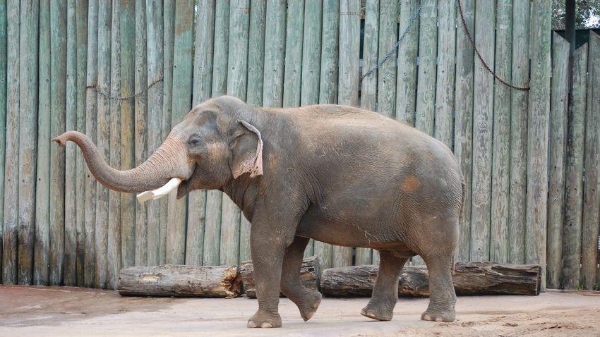 Egy dühös elefánt rátámadt egy szoborra, mert vetélytársnak hitte