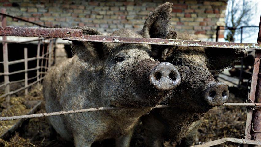 Nem lélegezhetnek fel az állattartók