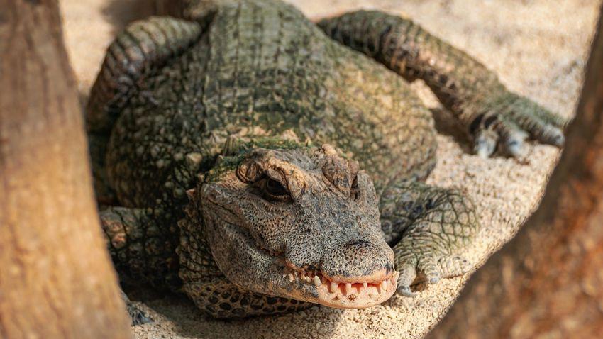 Kihaltnak vélt mocsári krokodilt fogtak be Bangladesben