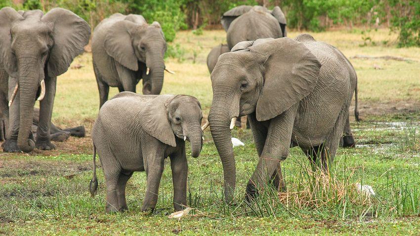 Hazaindultak a Kínában vándorló elefántok