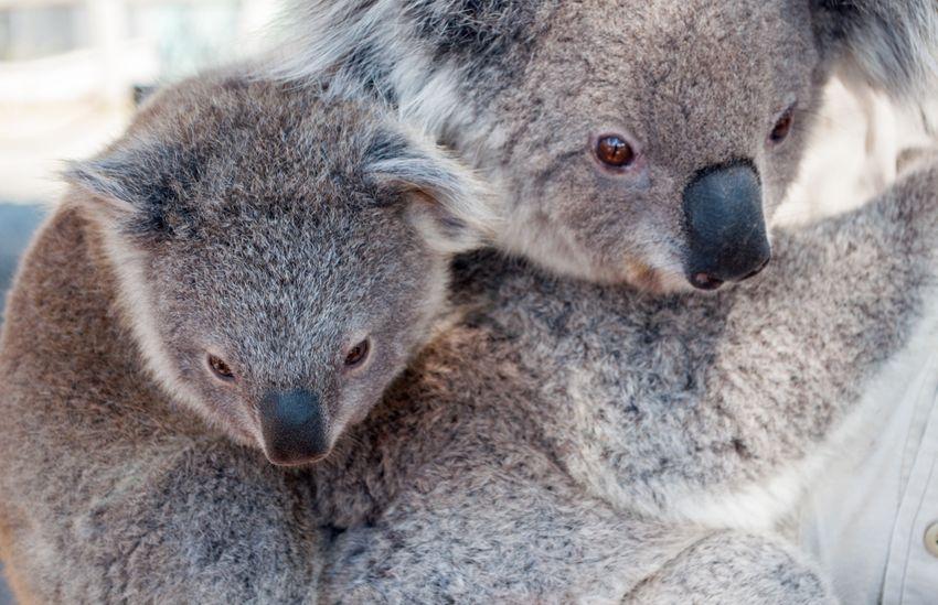 Már másodszor fenyegeti kihalás a koalákat