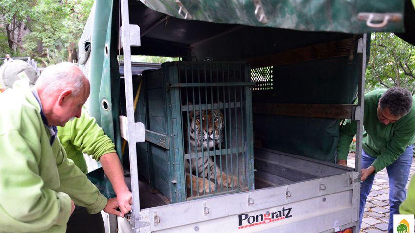 Íme Szása, a Fővárosi Állat- és Növénykert új szibériai tigrise