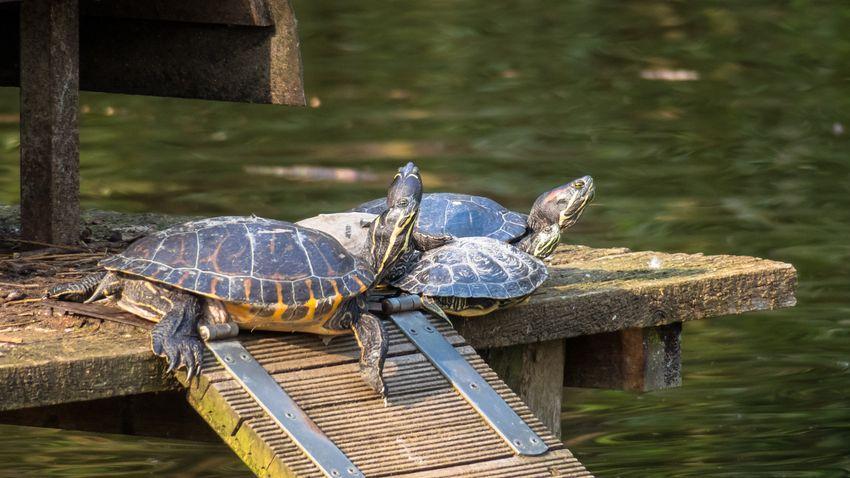 Állatmenhelyre költöztetik a kétfejű teknősbébit